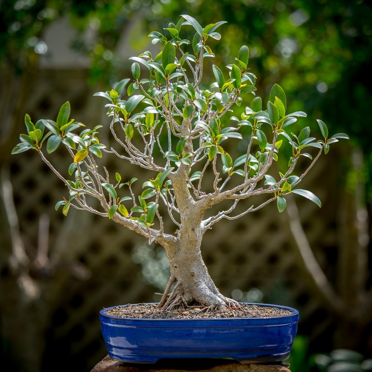 Ficus Development Tracking Ficus Development Over Several Years Matt S Bonsai Blog