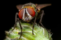 Fly_test_ Reversed_50mm+tubes+raynox_012_20171102 lowres