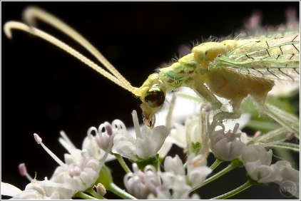 Green Lacewing 72x1200
