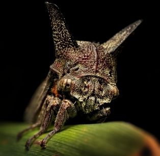 Horned Treehopper_20100831_008_ed1