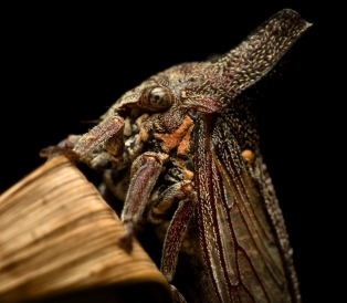 Horned Treehopper_20100831_017_ed1_