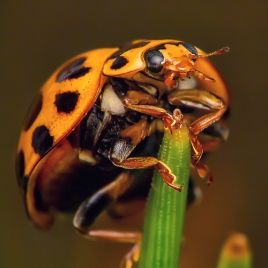 Lady Beetle on pine