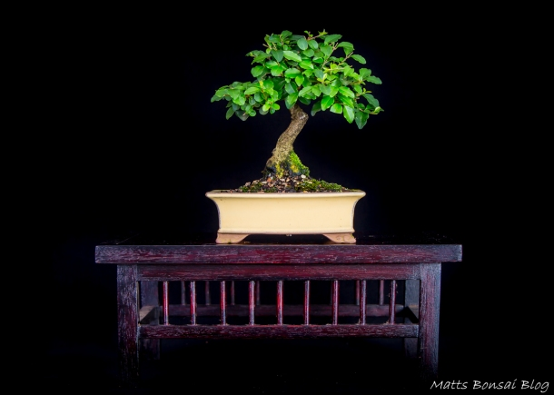 Ligustrum lucidum - Privet Style: Informal upright Size: Mame Height: 14cm Date of birth: 2004 First training: 2004 Table: home made
