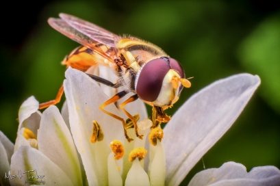 033 - Hoverfly - 20151127-Edit