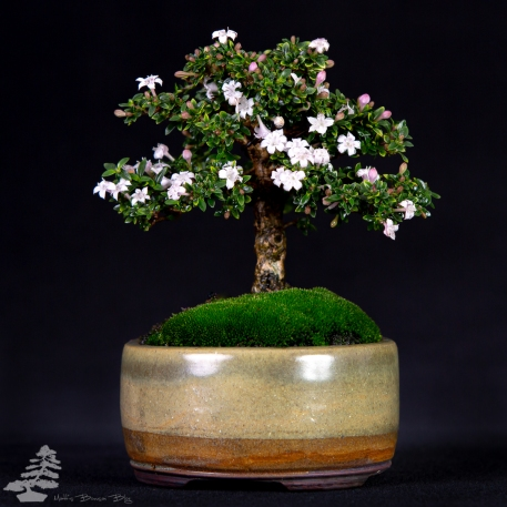 Serissa feotida - Serrissa Size: Mame Height: 14cm Date of birth: 2010 First training: 2018