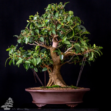 Ficus macrophylla - Moreton Bay fig Style: Informal upright Size: Chiu Height: 60cm Date of birth: 1995 First training: 2006
