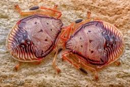 twin beetles